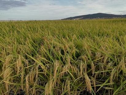 Extremadura construirá viviendas con cáscaras de arroz, corcho y plantas fibrosas de África y Asia