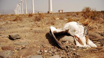 """Los nuevos parques eólicos canarios están produciendo """"afectaciones inaceptables sobre la biodiversidad"""""""