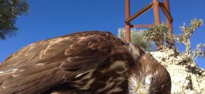 El Ministerio para la Transición Ecológica destina 3,5 millones de euros a la modificación de tendidos eléctricos peligrosos para la avifauna