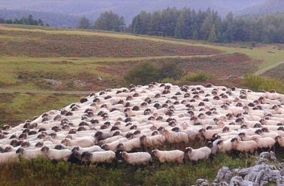 Colza para alimentar a las ovejas y generar la energía del queso Idiazabal