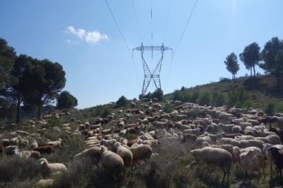 """Red Eléctrica """"pone"""" a las ovejas a pastar bajo las líneas eléctricas"""