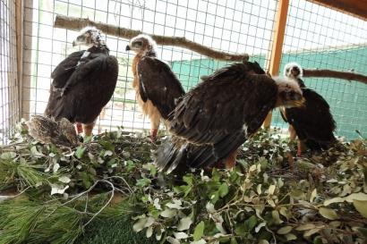 """El Govern balear considera """"significativa"""" la reducción de """"muertes por electrocución"""" de águilas de Bonelli"""