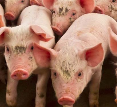 Purines y geotermia unidos para generar energía limpia y mejorar el bienestar animal