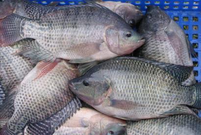Diseñan nuevas baterías sostenibles utilizando colágeno de los desechos de pescado