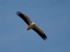 SEO/BirdLife solicita que no se construya el parque eólico Maya por su afección al alimoche