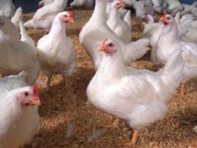 Estas gallinas saben mucho de sol y viento