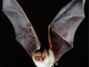 Vestas colocará en sus turbinas un pionero sistema que evita los impactos de los murciélagos