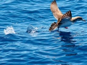 Pardela cenicienta, el ave que mide la velocidad de las corrientes marinas