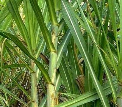La caña de azúcar vuelve a Motril de la mano del etanol