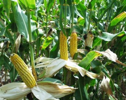 """Fitch afianza a Abengoa en el """"bono basura"""" por culpa del bioetanol"""