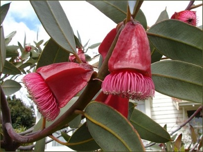 Eucalypt trees latest feedstock for aviation biofuels