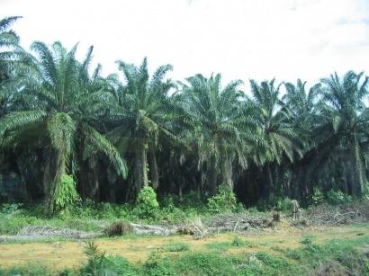 El papel y la madera deforestan Indonesia más que el aceite de palma