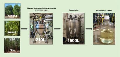 Nuevos intentos de convertir eficientemente en etanol biomasa leñosa de pinos, almendros y nogales