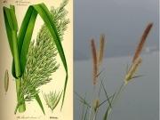 ¿Plantas invasoras para biocombustible?