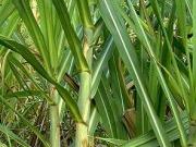 Acuerdo para cultivar caña de azúcar en España para bioetanol