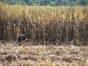 Brasil contará con la mayor planta de etanol de caña de azúcar del mundo
