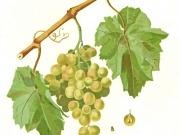 Quieren producir etanol con uvas de desecho