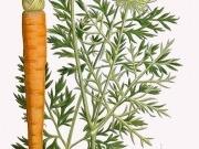 Zanahorias para producir etanol