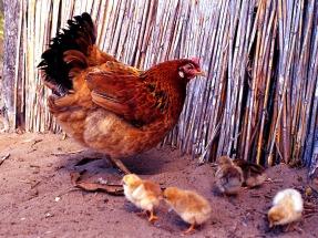 Residuos de granjas avícolas + especie de planta invasora = biogás