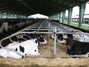 Pura energía de vaca