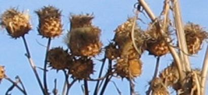 Investigadores de Portugal y España sacan adelante cultivos de cardo a gran escala