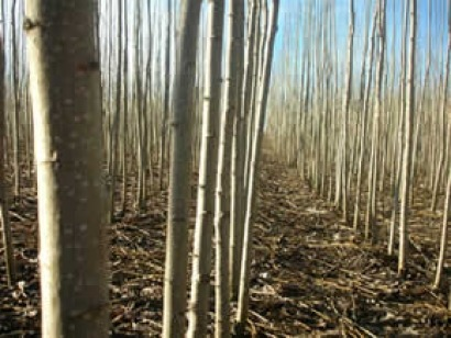 SENER construirá la planta de biomasa de Ence en Mérida