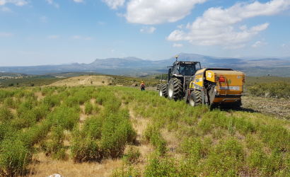 Jara pringosa, buena para el monte mediterráneo y ¿para una biorrefinería?
