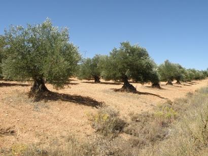 Una bacteria para aumentar un 30% la producción de etanol de podas de olivo.