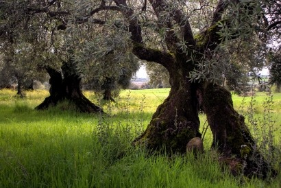 La biomasa se hace un hueco en la ley andaluza del olivar