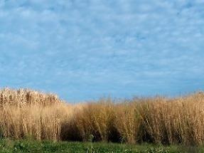 Miscanto y caña común para cultivos energéticos en decenas de miles de hectáreas