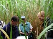 Gramíneas en tierras marginales como cultivos energéticos