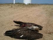 Muere un buitre alcanzado por las palas de un aerogenerador en Ávila