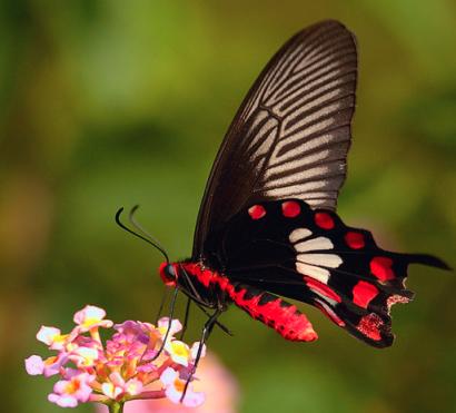 Las alas de la mariposa negra ayudan a elevar en un 200% el rendimiento de las células solares