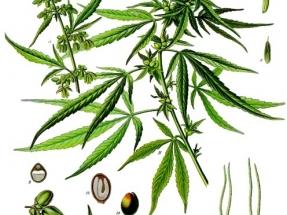 Marihuana y fotovoltaica ¿una unión virtuosa?