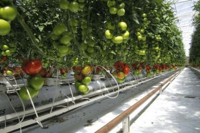 Cultivando tomates en el desierto gracias a la energía solar